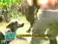 Cão enfrenta anaconda para salvar criança