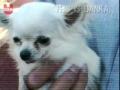 O antigo cão mais pequeno do mundo