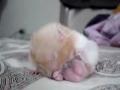 Hamster perdido de sono