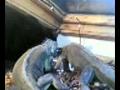 iguanas e tobia a comer