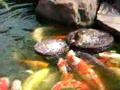 Pato alimenta peixes