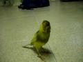 Canário canta até que a voz lhe doa
