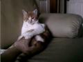 Gato joga à sardinha