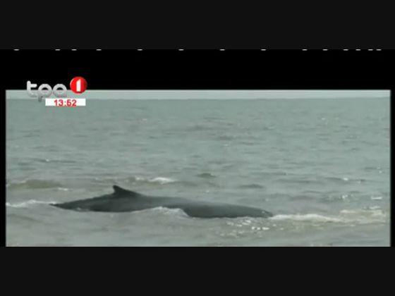 Benguela - Baleia encalhada foi devolvida ao mar com vida